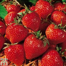 Strawberry 'Cambridge Favourite' - 1000 runners