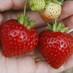 Strawberry `Finesse` (Everbearer All Season) 6 strawberry plants