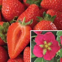 Strawberry 'Toscana' (Everbearer/ All Season) - 48 plugs