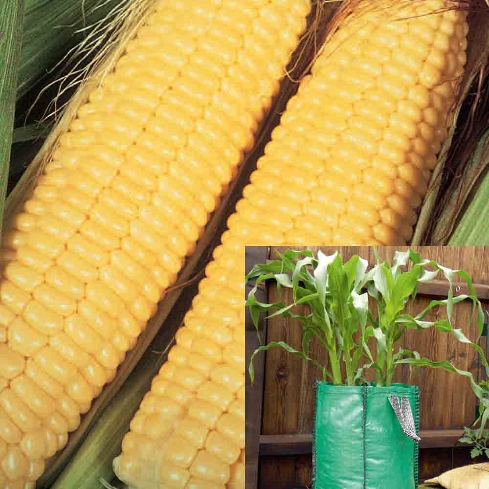 Sweetcorn Patio Kit (Plant Collection) - 1 collection