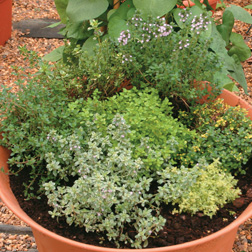 Thyme Plant Collection - 5 jumbo plugs - 1 of each variety