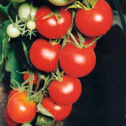 Tomato `Tamina` 1 packet (95 tomato seeds)
