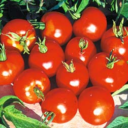 Tomato `Stupice` 1 packet (30 tomato seeds)