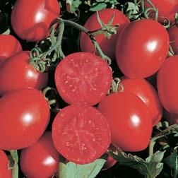 Tomato 'Falcorosso' (Organic) - 1 packet (6 seeds)