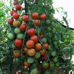 Tomato 'Cherrola' F1 Hybrid - 5 jumbo plugs