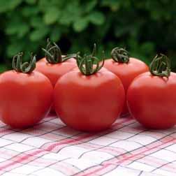 Tomato 'Orkado' F1 Hybrid - 1 packet (8 seeds)