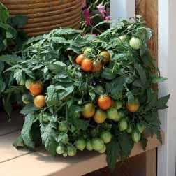 Tomato 'Tumbling Tiger' F1 Hybrid - 1 packet (10 seeds)