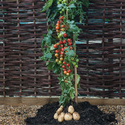 TomTato® (Ketchup `n` Fries trade;, Ketchup and Chips) 3 x 9cm potted TomTato® plants 300g of incredicrop®