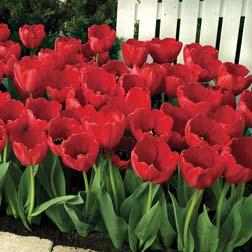 Tulip Red Impression  16 tulip bulbs
