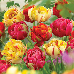 Tulip 'Colour Carnival' Mixed - 60 bulbs