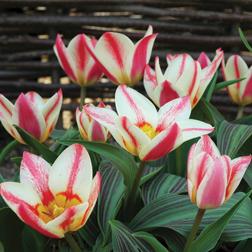 Tulip 'St.George' - 20 bulbs