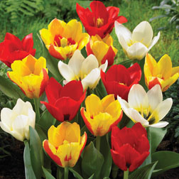 Tulip Kaufmanniana Mixed  32 tulip bulbs