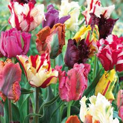 Tulip Mixed Parrot  32 tulip bulbs