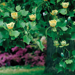 Tulip Tree - 2 x 9cm potted tulip plants