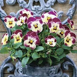 Viola cornuta 'Valentine' F1 Hybrid - 1 packet (20 seeds)