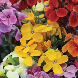 Wallflower `Sugar Rush` (Garden Ready) 30 wallflower garden ready plants