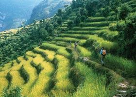 http://www.tandmpics.com/res/plants/ricefields2.jpg